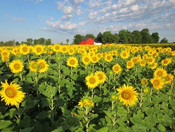 Kricklewood Farm's all natural, non-GMO Cold Pressed Ontario Sunflower Oil is available at the 2016 festival.