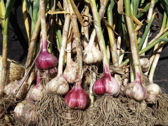 Colourful Garlic Bulbs-Web